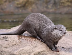 Discover Ardnamurchan - Otter